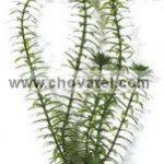 Anacharis 13-16cm