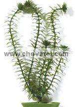 Anacharis 18-21cm